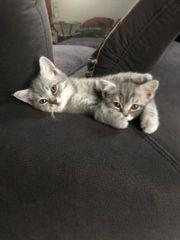 Zuckersüsse BKH Katzen