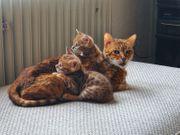 Verkaufe Bengal-Kätzchen