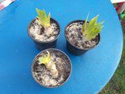 Schwertlilien für Randzone Gartenteich zu