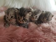 Reinrassige Perser Kitten