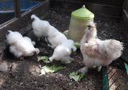 Seidenhuhn Seidenhühner Zwergseidenhühner- Hähne und