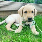 Nette Labrador Welpen zu verkaufen