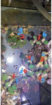 Koralle euphyllia Froschlaich divisa