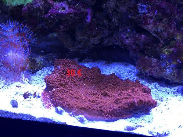 Koralle Ableger Montipora Platte Digitata