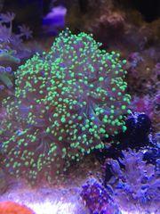 Korallen Euphyllia paradivisa Meerwasser