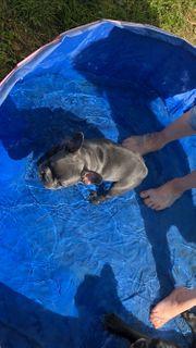 Französische Bulldogge Blue m Ahnentafel