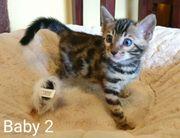 Wunderschöne reinrassige Bengalkatzen-Babys mit Papieren