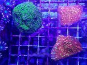 Korallen Korallenableger SPS LPS