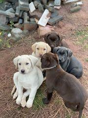 Labrador Welpen Magic Love Ahnentafel