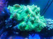 Verschiedene Korallen Meerwasser Salzwasser Aquarium