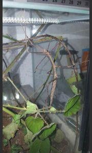 Annam-Stabschrecken Nymphen