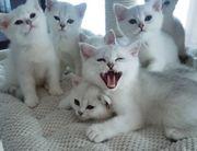 Reinrassige BKH Kitten in der