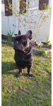 Französische Bulldoggen deckrüden nicht verkaufen