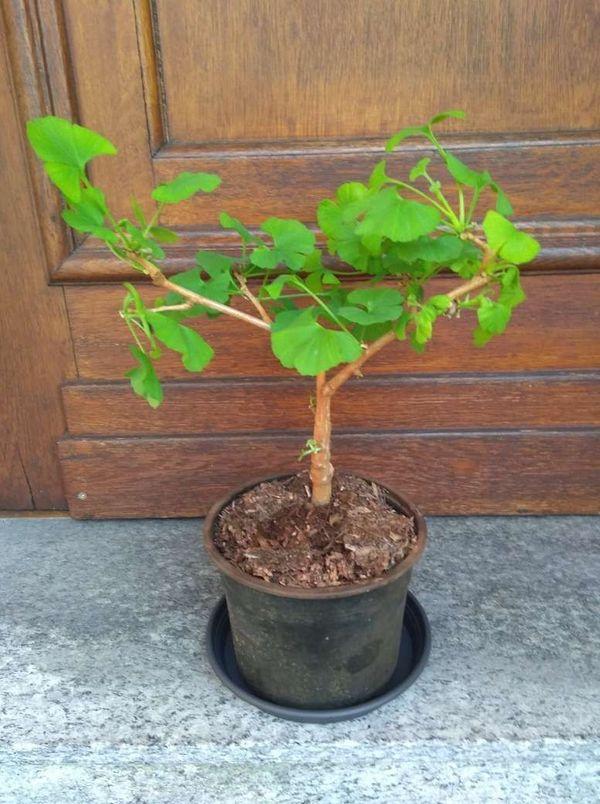 2 Stück Ginkgo - Biloba - Pflanzen -