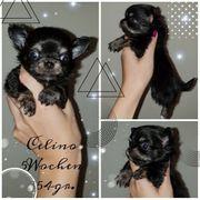 Chihuahuas mit AT Wurfankündigung