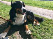 Berner Sennenhund Deckrüde 2 Jahre