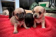 Welpen - kleine Balljunkies - Therapiehunde-Linie - Chihuahua-Zwergpinscher