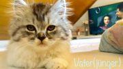 BKH Perser kitten