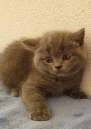 Wunderschöne gesunde BKH Kitten
