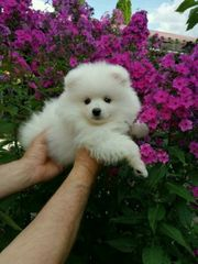 Zwergspitz Pomeranian In Krefeld Hunde Kaufen Verkaufen Auf Quoka De