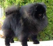 Pomeranian Mini boo