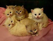 Wunderschöne Ragdoll Kitten in Mink
