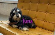 Schnauzer-Pudel-Mischling Juna sucht ein neues
