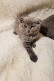 Süße BKH Babykatzen suchen nach