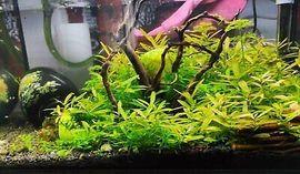 Fische, Aquaristik - Posthornschnecken Garnelen bunt gemixt Pflanzen
