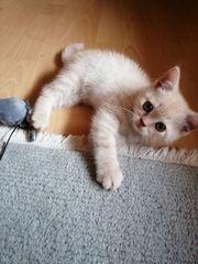 1 süßes Katzenbaby BKH Scottish