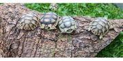 Breitrandschildkröten Testudo Marginata Nachzuchten aus