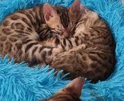Katzenbabys Bengalkitten