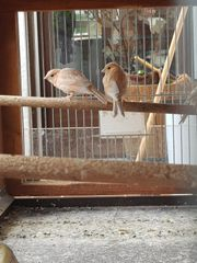 Seltene Kanarienvögel