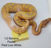 1 0 Königspython BananaPastel Pied
