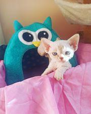 Devon Rex Kitten aus registrierter