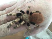 Nhandu chromatus ca 5cm Körperlänge