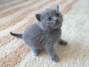 Reinrassige BKH Britisch Kurzhaar Katzen