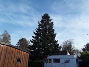 Große Tanne als Weihnachtsbaum Christbaum