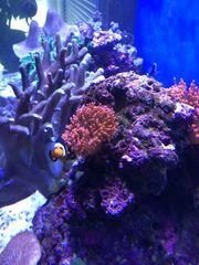 Kupferanemone rot super schöne Anemone