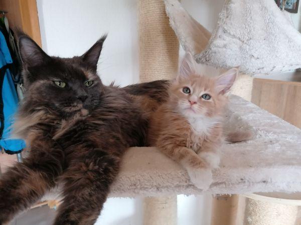 Typvolle Maine Coon Kätzchen