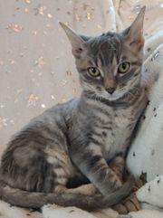 Sehr seltene German Rex Kitten