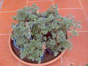 schöne zweijährige Wermut Pflanzen