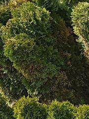 Smaragd-Thuja-Hecke bzw Bäume zu verkaufen