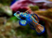 Meerwasser Mandarinfisch Männchen