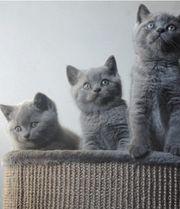 BKH Blue Kitten Reinrassig