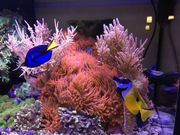 1 Kupferanemone Meerwasser Niedere Tiere