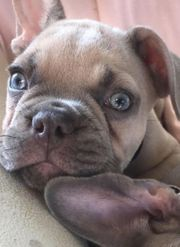 Französische Bulldoggen Ay at Lilac