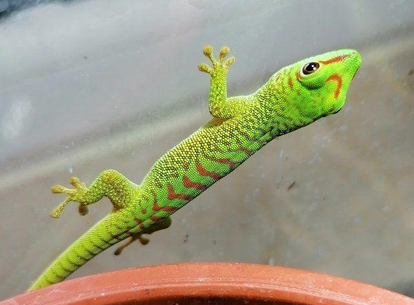 Madagaskar Taggecko High Red 0. 0. 4