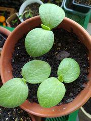 Hokkaido Kürbis 3 Pflanzen im
