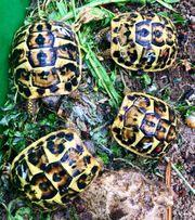 Griechische Landschildkröten THH Westrasse Kalabrien